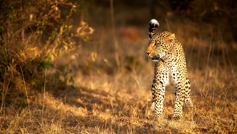 Female leopard hunting in the Masai Mara, Kenya, East Africa, Africa
