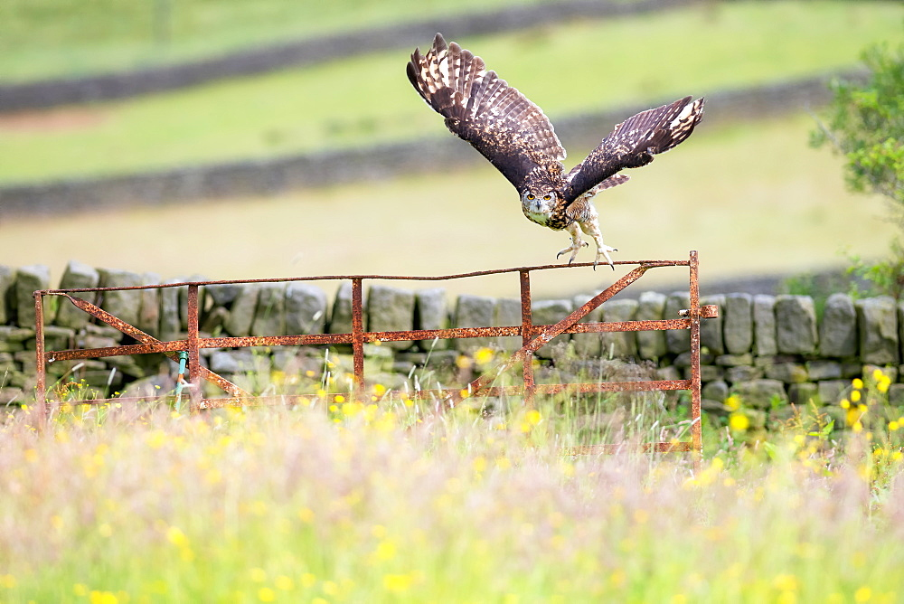 Eurasian Eagle-owl (Bubo bubo), adult, in flight, United Kingdom, Europe