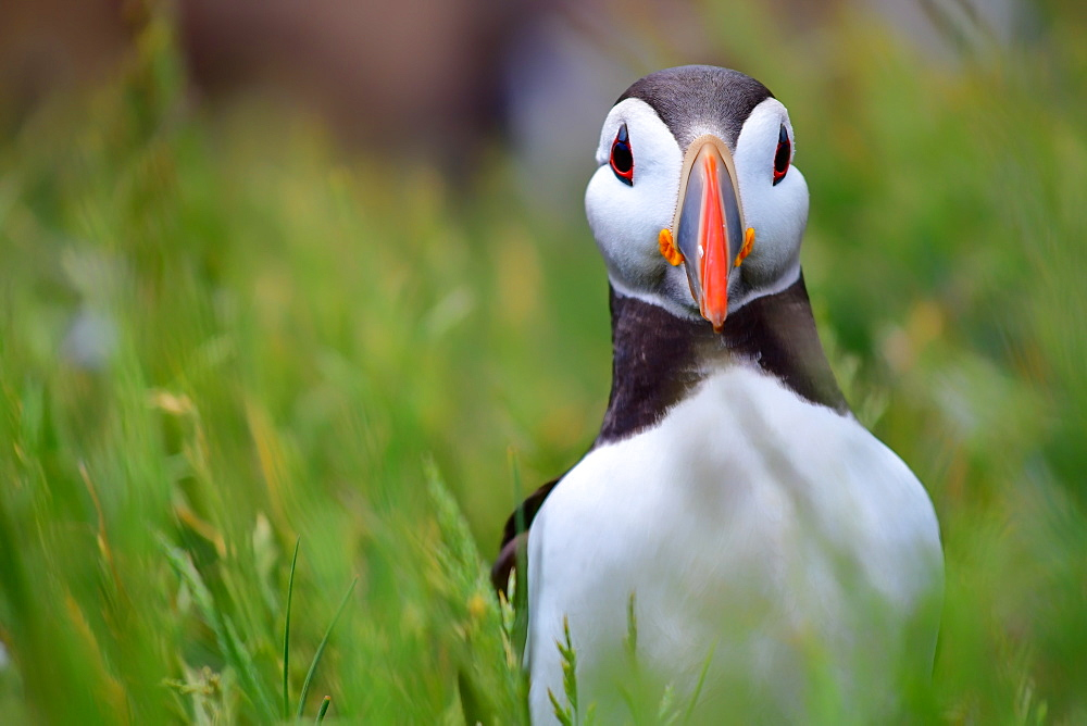 Atlantic puffin, The Farne Islands, Northumberland, England, United Kingdom, Europe