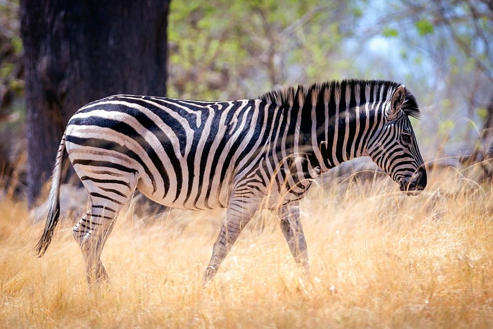 Zebra, Chobe National Park, Botswana, Africa - 1216-68