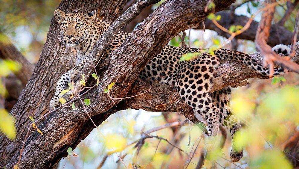 Leopard, Okavango Delta, Botswana, Africa - 1216-70