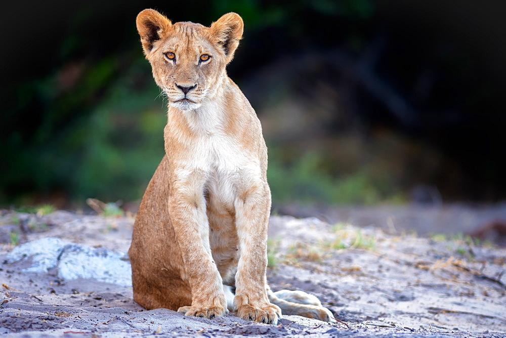 Lion cub, Chobe National Park, Botswana, Africa - 1216-71