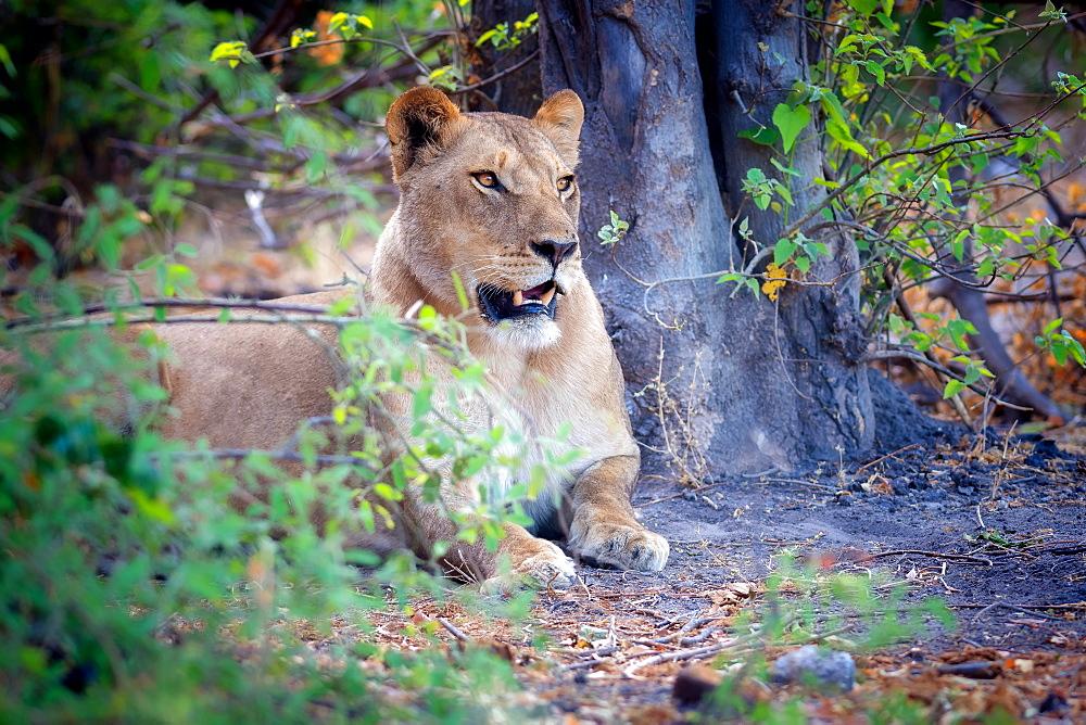 Resting lion, Chobe National Park, Botswana, Africa - 1216-72