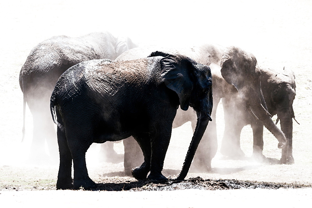 Stock photo of Herd of elephants in the dust