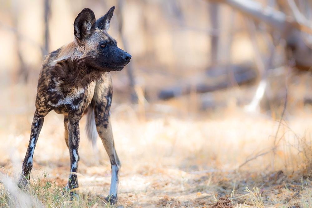 Wild dog, Okavango Delta, Botswana, Africa - 1216-76