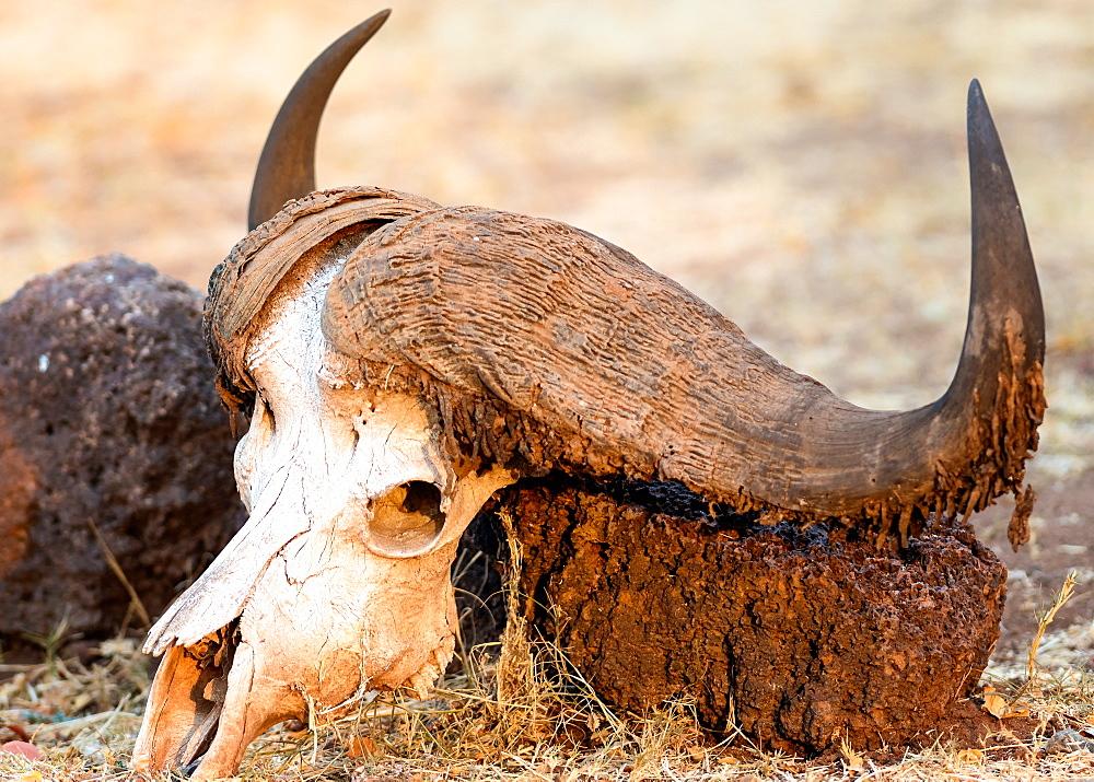 Buffalo skull, Okavango Delta, Botswana, Africa - 1216-77