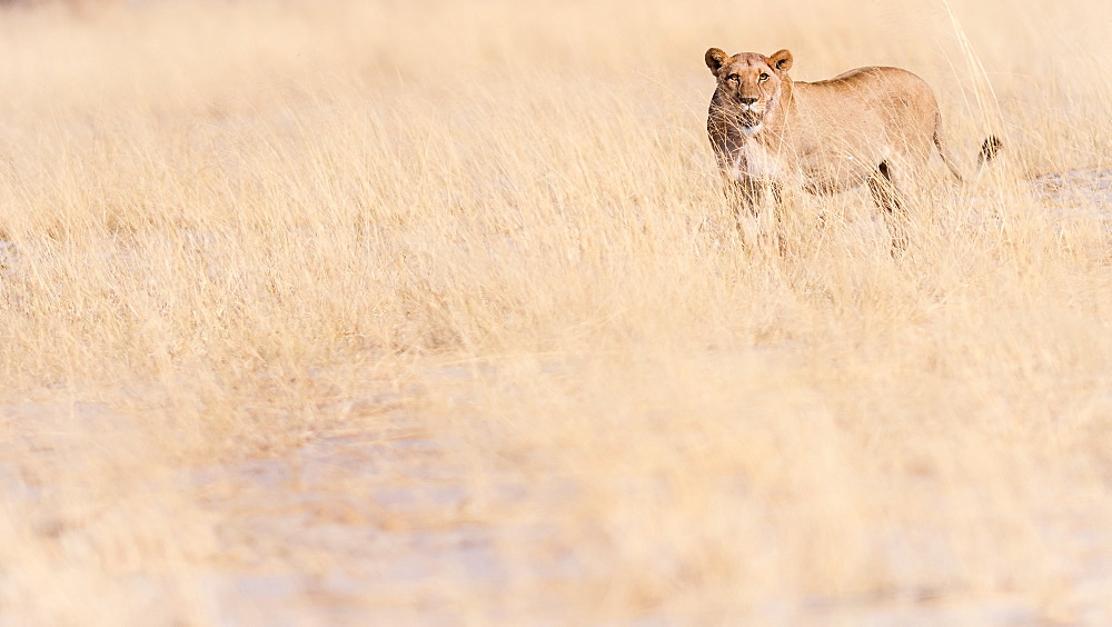 Lion, Okavango Delta, Botswana, Africa - 1216-78
