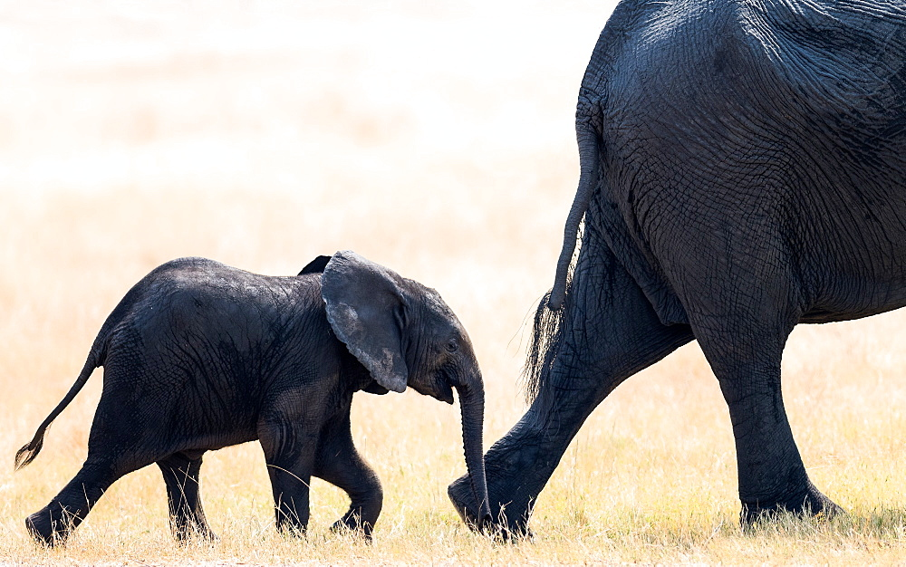 Elephant calf following mother, Hwange National Park, Zimbabwe, Africa