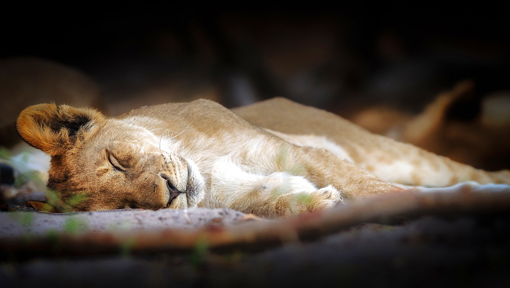 Stock photo of Sleeping lion cub, Chobe National Park, Botswana