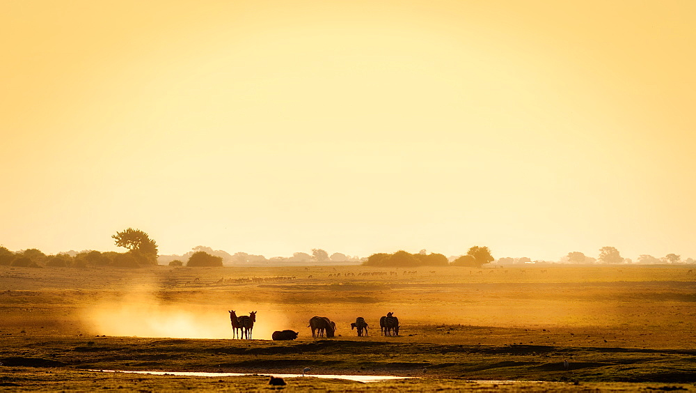 Dazzle of zebras, Chobe National Park, Botswana, Africa - 1216-83