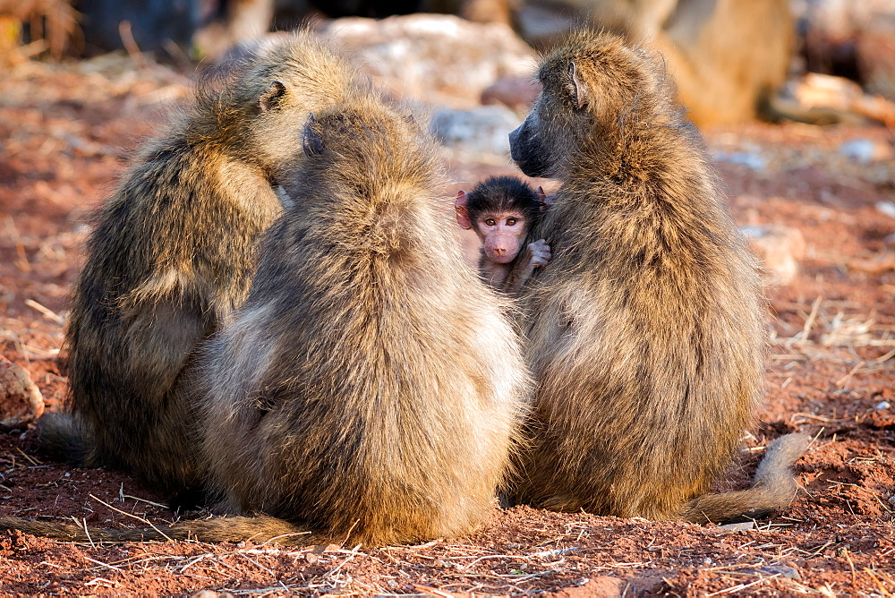Baboon family, Botswana, Africa - 1216-84