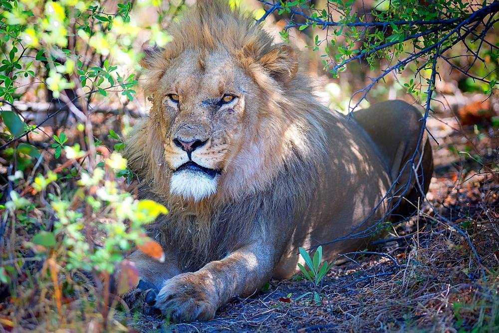 Lion, Okavango Delta, Botswana, Africa - 1216-88