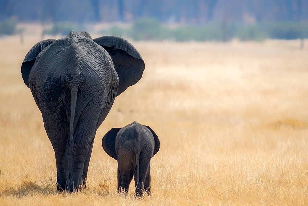 Little and Large, elephant calf and mother, Hwange National Park, Zimbabwe, Africa