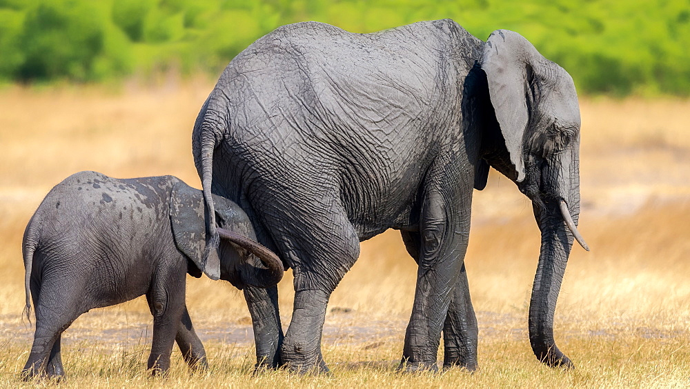 Elephant and calf, Hwange National Park, Zimbabwe, Africa