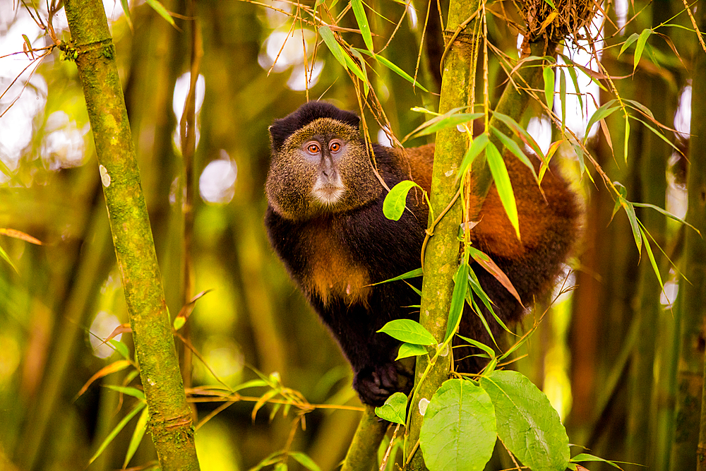 Golden Monkey in Volcanoes National Park, Rwanda, Africa