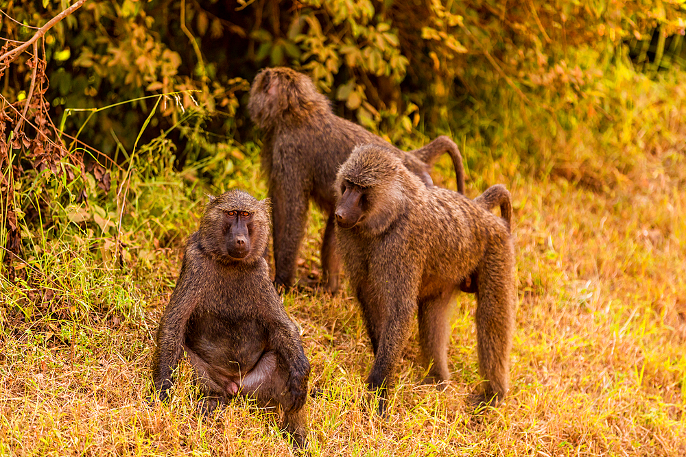 Baboons in Bwindi Impenetrable Forest National Park, Uganda, East Africa, Africa - 1218-1060