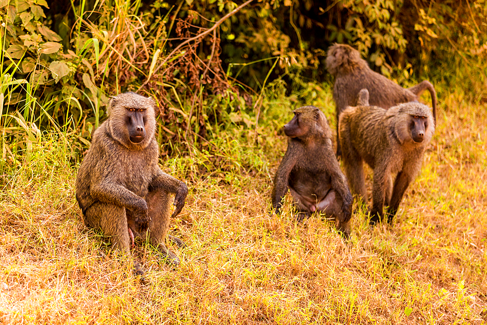 Baboons in Bwindi Impenetrable Forest National Park, Uganda, East Africa, Africa - 1218-1062
