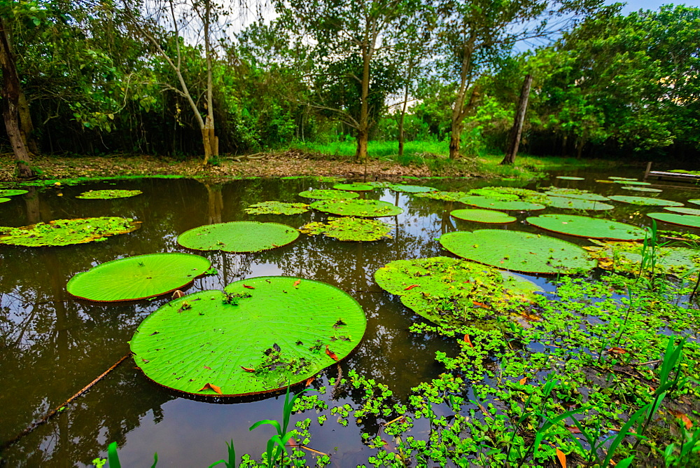 Famous Giant Lilly Pads. - 1218-1220