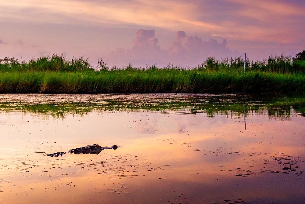 Alligator Alley is home to so many alligators in Louisiana that its impossible to not spot one. - 1218-1334