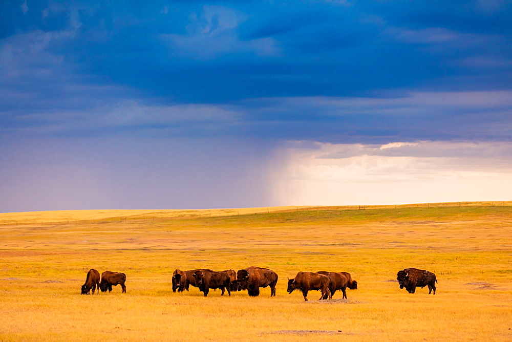 American Bison in their natural habitat of the Badlands. - 1218-1356