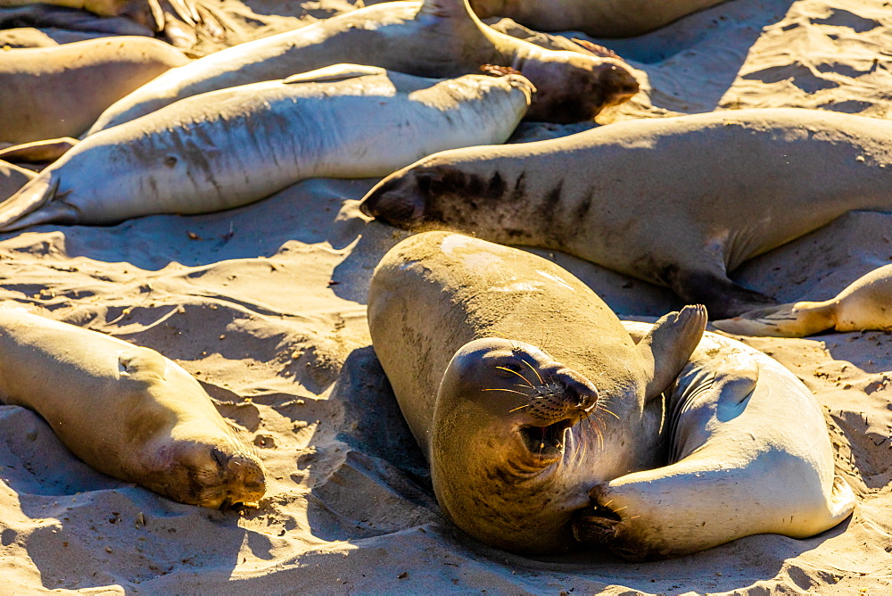 Seals along the beach bathing in the sun, Big Sur, California, United States of America, North America - 1218-1410