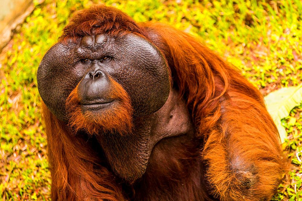Native Orangutan in Bako National Park, Kuching, Sarawak, Borneo, Malaysia, Southeast Asia, Asia