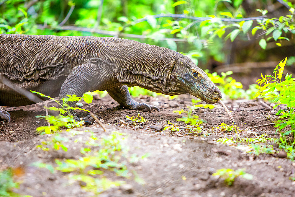 Komodo dragons on Komodo Island, Komodo National Park, Indonesia, Southeast Asia, Asia - 1218-593