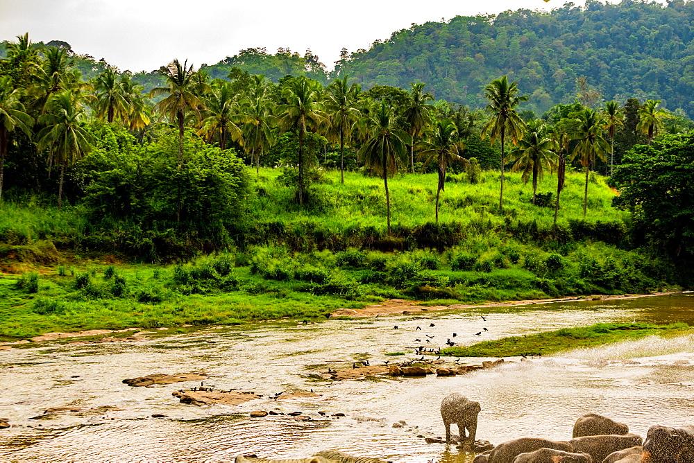 Elephants in Pinnawala, Sri Lanka, Asia