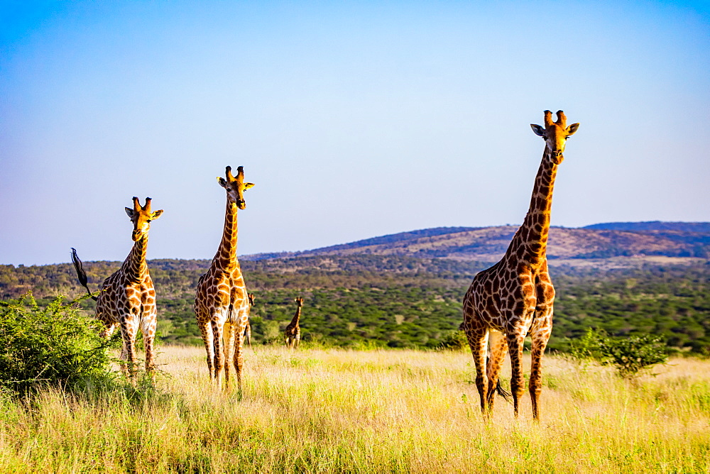 Giraffe (Giraffa camelopardalis), Zululand, South Africa, Africa - 1218-704