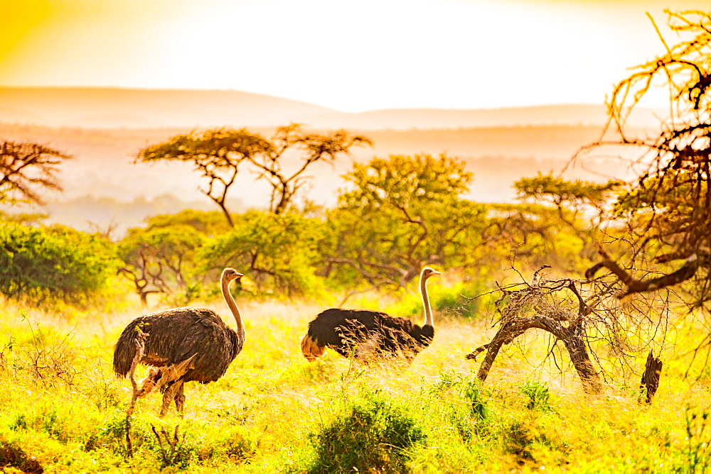 Ostrich (Struthio Camelus), Zululand, South Africa, Africa