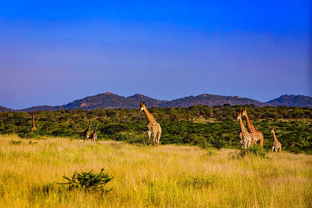 Giraffe (Giraffa camelopardalis), Zululand, South Africa, Africa - 1218-708