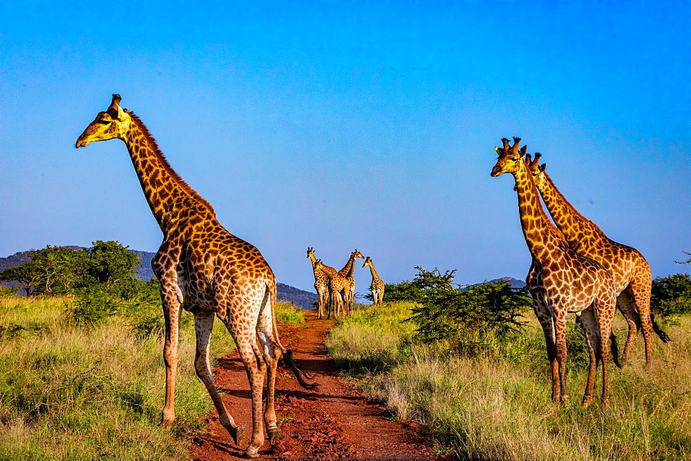Giraffe (Giraffa camelopardalis), Zululand, South Africa, Africa - 1218-709