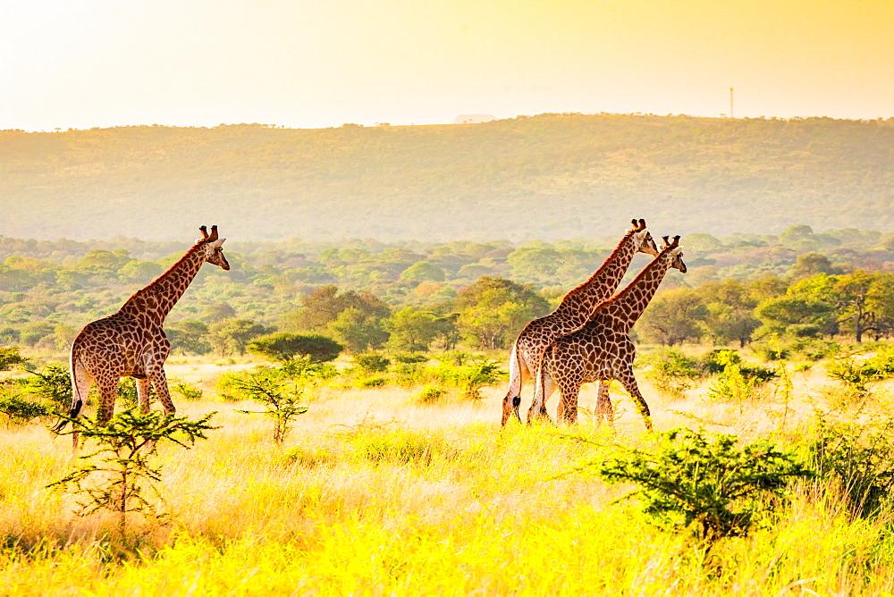 Giraffe (Giraffa camelopardalis), Zululand, South Africa, Africa - 1218-710