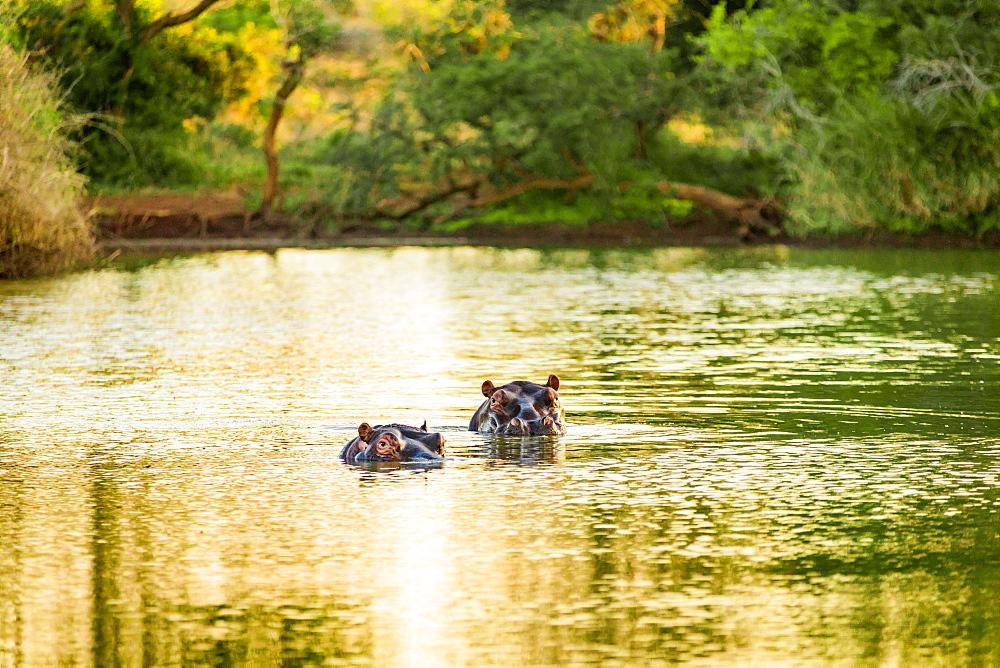 Hippopotamus (Hippopotamus amphibius), Zululand, South Africa, Africa