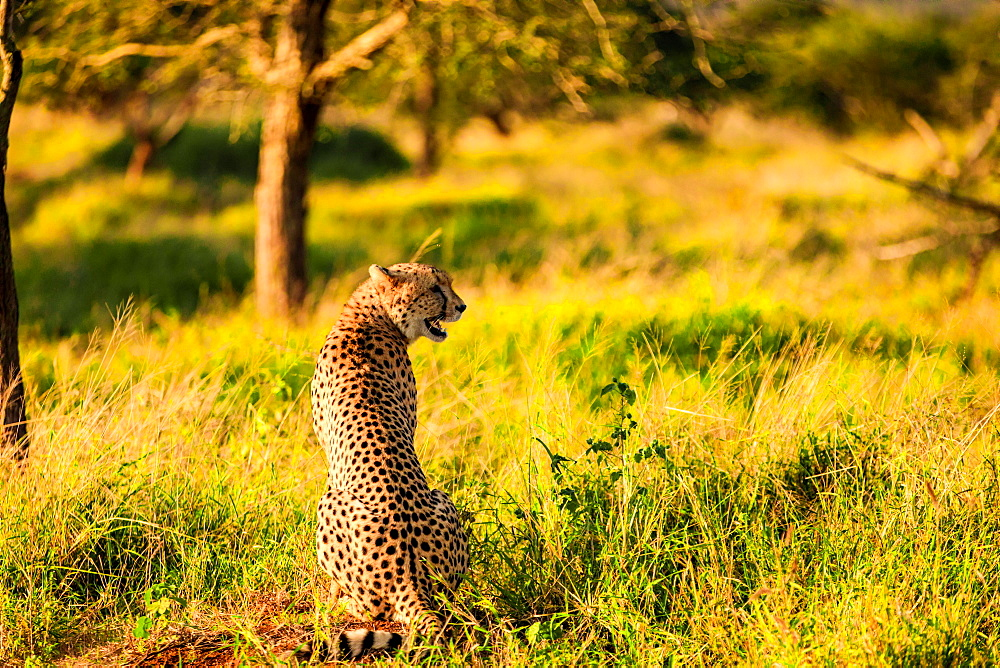 Cheetah (Acinonyx jubatus), Zululand, South Africa, Africa - 1218-716