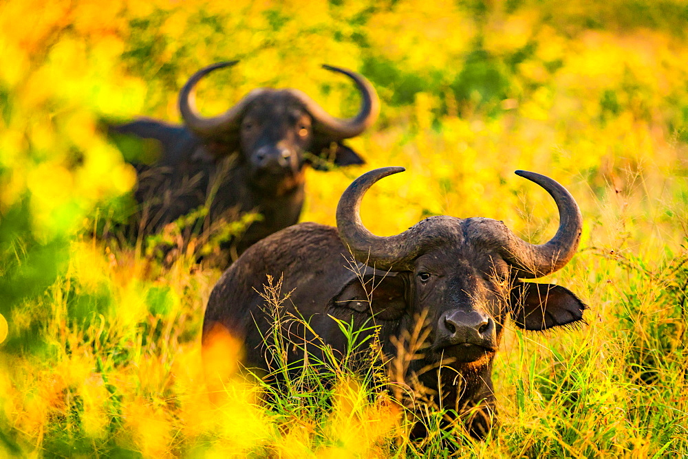 Water buffalo (Bubalus bubalis), Zululand, South Africa, Africa