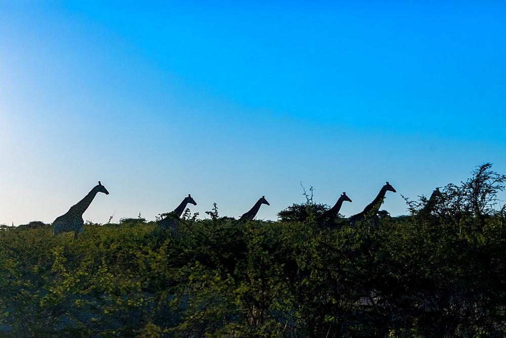 Giraffe (Giraffa camelopardalis), Zululand, South Africa, Africa - 1218-719
