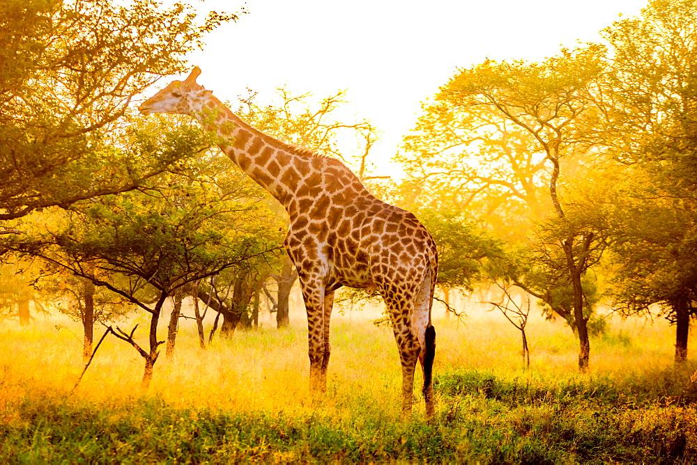 Giraffe (Giraffa camelopardalis), Zululand, South Africa, Africa - 1218-720