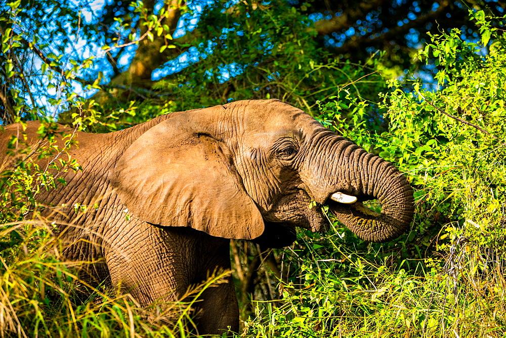 African Elephant (Loxodonta Africana), Zululand, South Africa, Africa - 1218-725