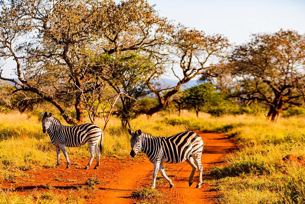 Zebras (Equus zebra), Zululand, South Africa, Africa