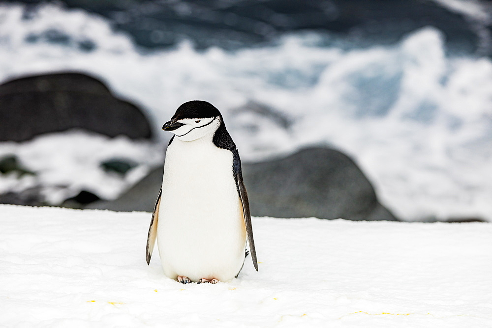 Chinstrap Penguin roaming around in scenic Antarctica, Polar Regions
