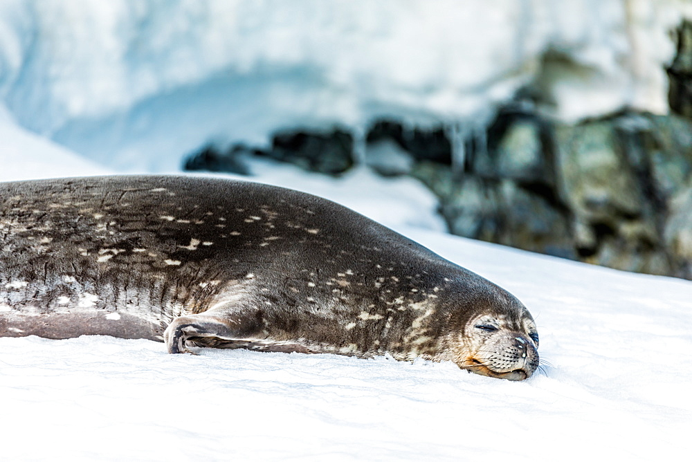Antarctic fur seal chillin' on the ice in Antarctica. - 1218-788