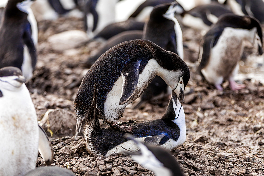 Chinstrap Penguins mating in Antarctica, Polar Regions