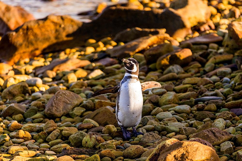 Magellan (Megallanic) Penguin roaming around New Island, Falkland Islands, South America
