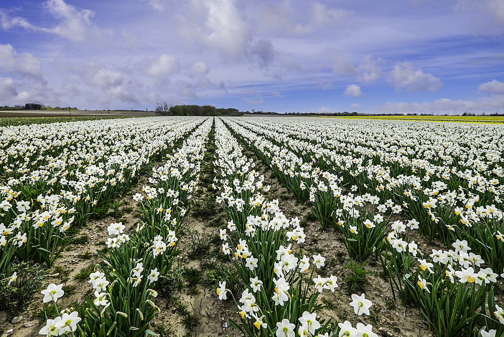 A field of daffodils in bloom, Norfolk, England, United Kingdom, Europe