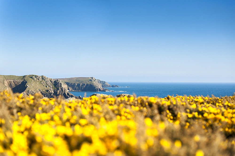 Gorse covered cliffs along Cornish coastline near Land's End at the westernmost part of the British Isles, Cornwall, England, United Kingdom, Europe