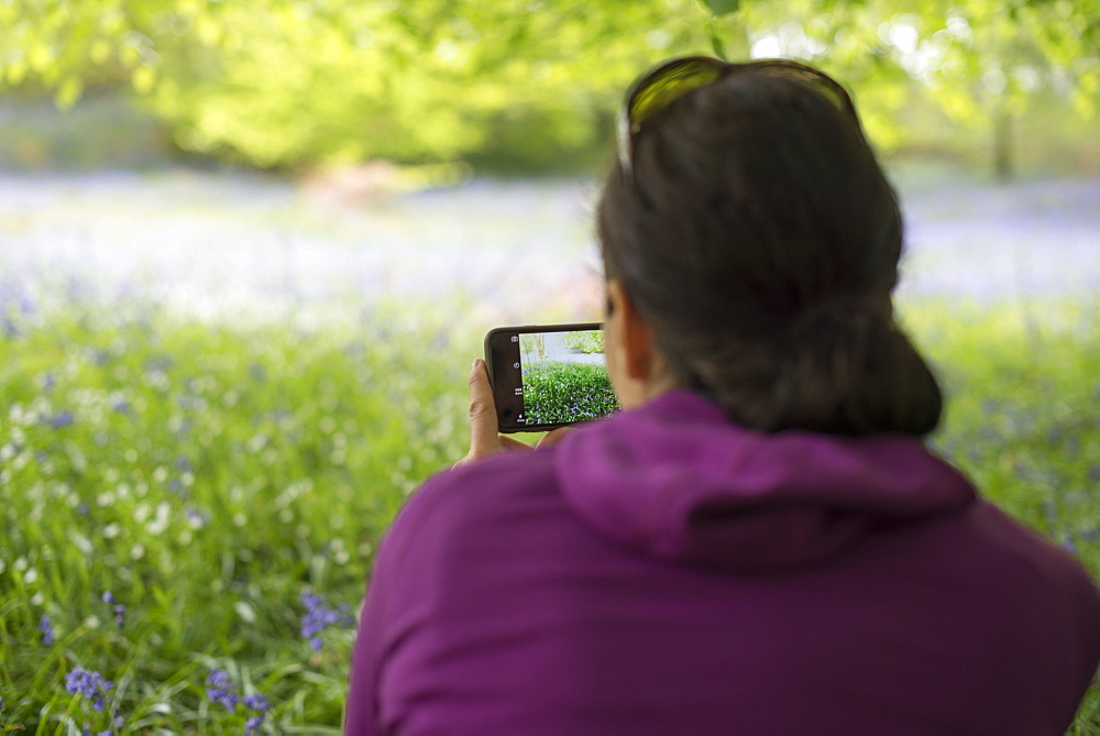 A woman takes a photo of a forest floor covered in bluebells, Lake District, Cumbria, England, United Kingdom, Europe