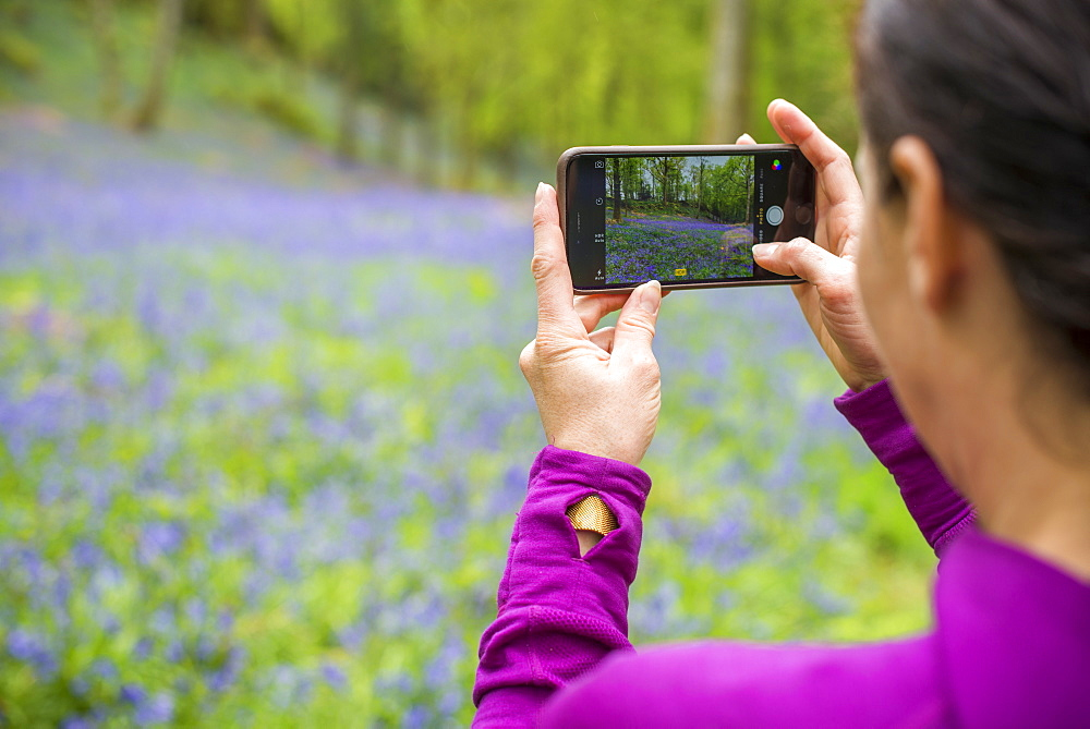 A woman takes a photo on her smartphone of a forest floor covered in bluebells in the Lake District, Cumbria, England, United Kingdom, Europe