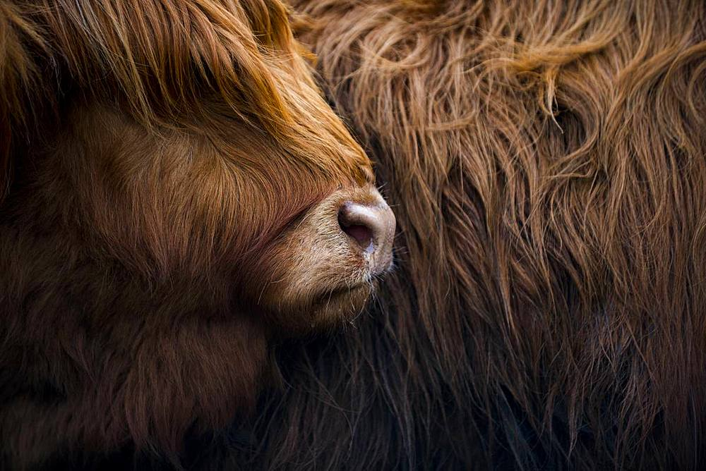 Highland cow near Shiel Bridge in the Scottish Highlands, Scotland, United Kingdom, Europe - 1225-1227