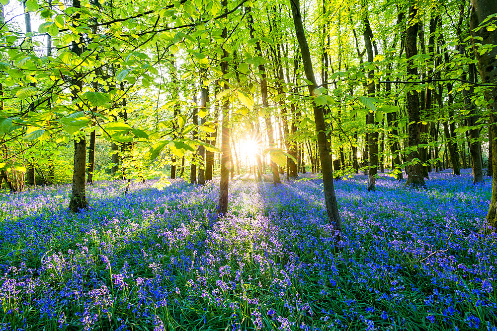 Bluebells cover a woodland floor during Spring in a small forest and catch the last rays of sun - 1225-1318
